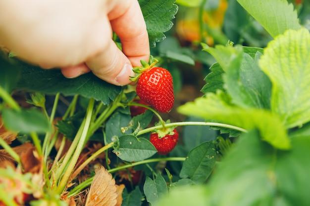 Mâle, main, tenue, fraise, pendre, fraise, champ
