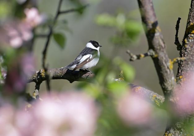 Un mâle moucherolle européen (ficedula hypoleuca) sur une branche en gros plan dans son habitat naturel.