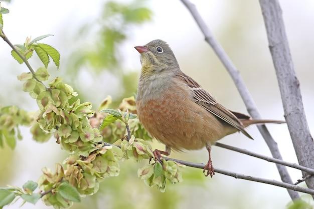 Le mâle ortolan buntingl en plumage nuptial est assis sur une branche verte contre le ciel