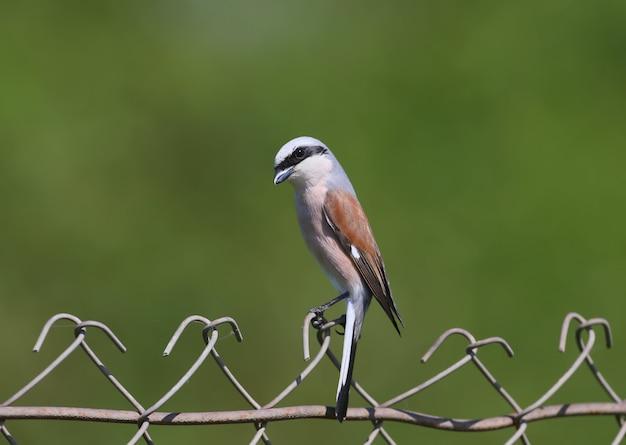 Un mâle de la pie-grièche à dos rouge est assis sur une clôture métallique.