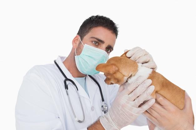 Mâle vétérinaire examinant l'oreille d'un chihuahua aidé par un assistant sur fond blanc