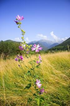 Mallow moschata espèce de mauve qui pousse dans les prairies et les fossés des régions montagneuses du tian shan