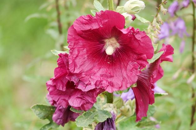 Malva silvestris. malva alcea en fleur, mauve à feuilles coupées, mauve verveine ou mauve trémière