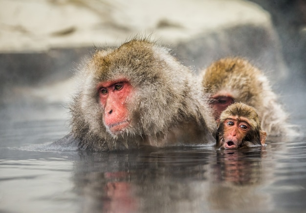 Maman et bébé macaque japonais sont assis dans l'eau dans une source chaude. japon. nagano. parc des singes de jigokudani.
