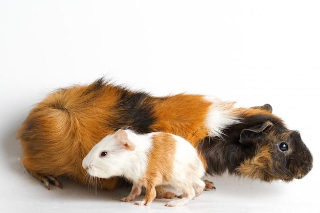 Maman cochon d'inde avec chiot sur mur blanc