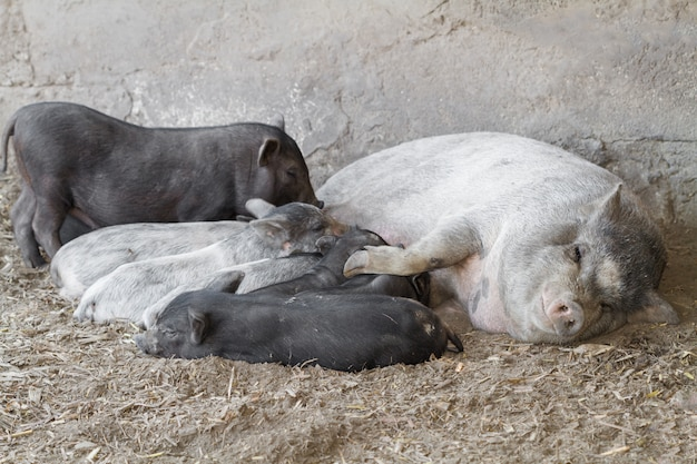 Maman cochon nourrit de petits porcelets affamés