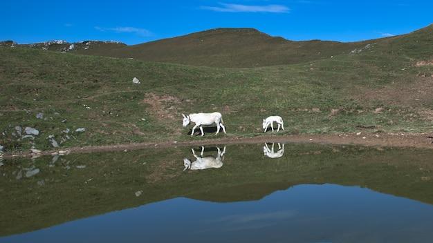 Maman et petit âne blanc près d'un étang alpin