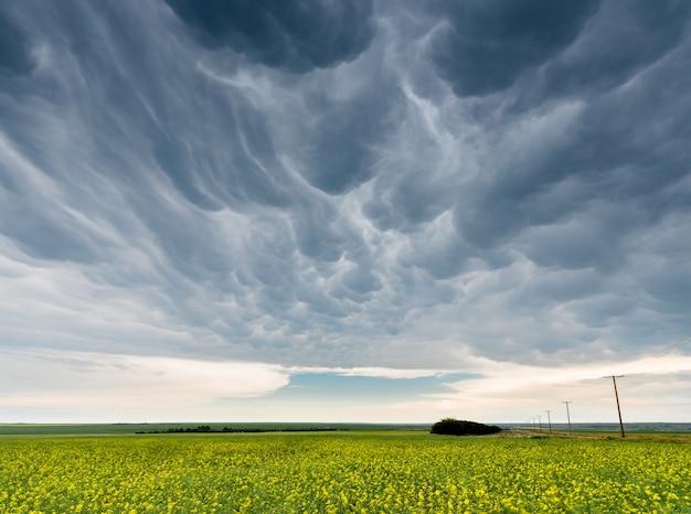 Mammatus sombre et sinistre nuages d'orage sur un champ de canola en saskatchewan, canada