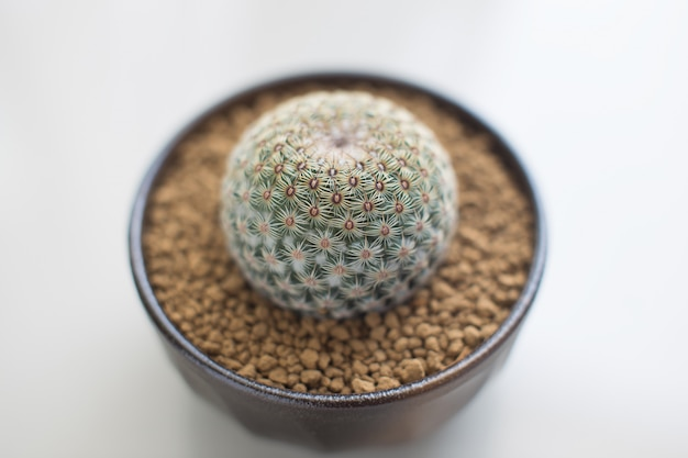 Mammillaria huitzilopochtli dans un pot en céramique brun