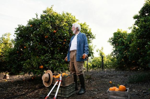 Man la récolte des orangers