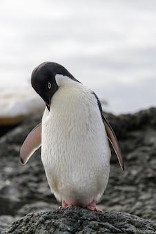 Manchot adélie debout sur la plage en antarctique