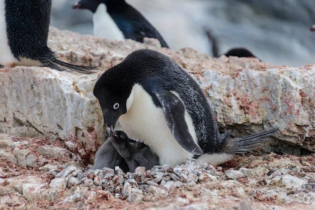 Manchot adélie avec des poussins dans son nid en antarctique
