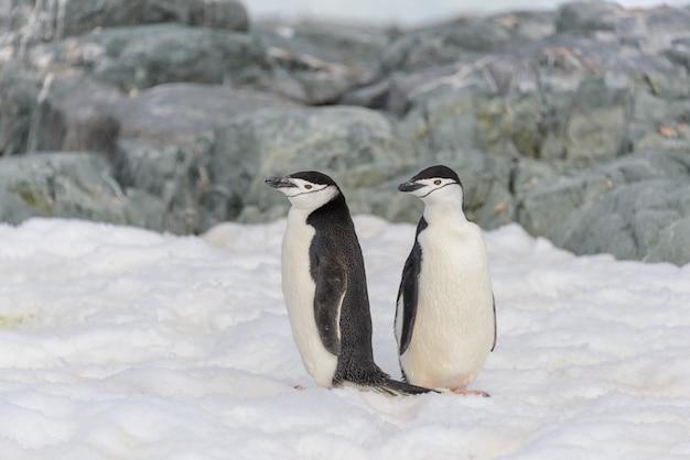 Manchot à jugulaire sur la neige en antarctique