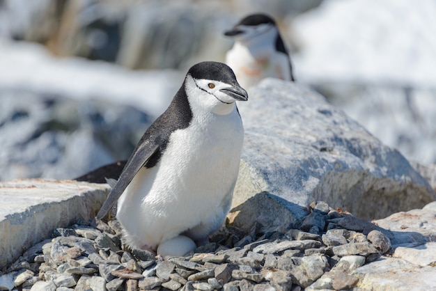 Manchot à jugulaire avec oeuf sur la plage en antarctique