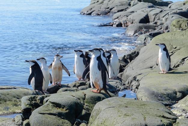 Manchot à jugulaire sur la plage en antarctique