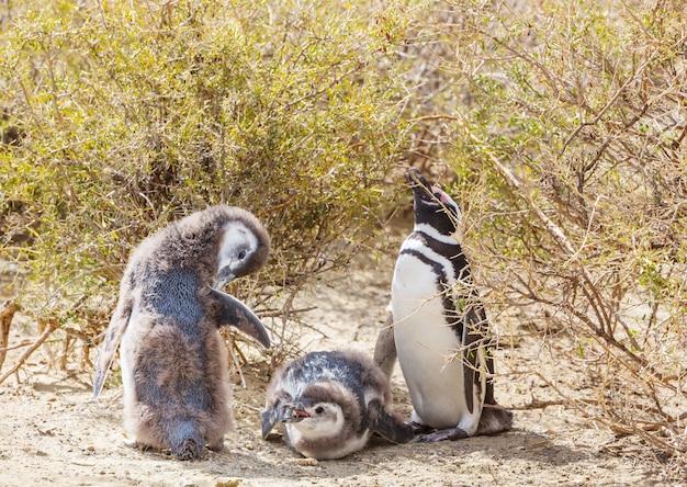 Manchot de magellan (spheniscus magellanicus) en patagonie