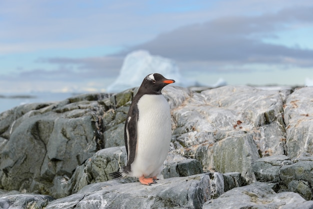 Manchot papou sur la neige en antarctique