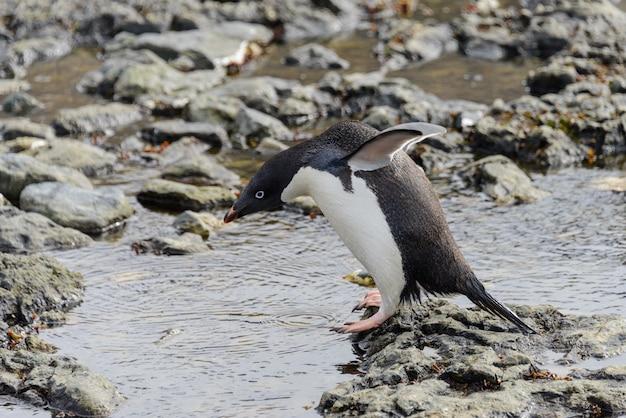Manchot papou sur la plage en antarctique
