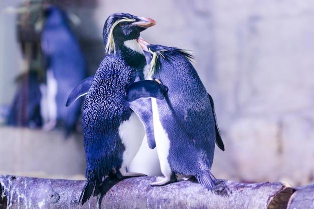 Manchot sur un rocher avec d'autres pingouins