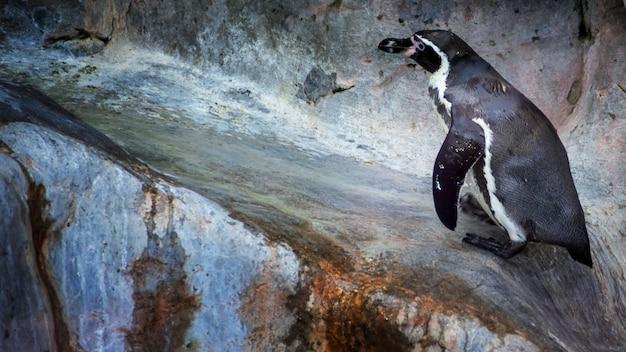 Manchots de humboldt debout en milieu naturel, sur les rochers près de l'eau