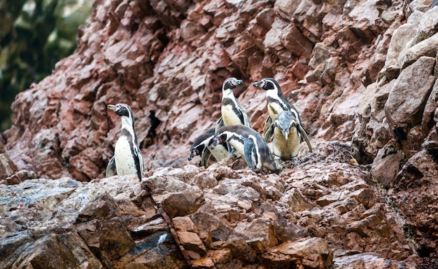 Manchots de humboldt sur les îles ballestas près de paracas au pérou