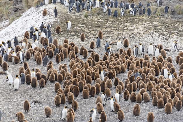 Manchots royaux avec des chiks sur l'île de géorgie du sud