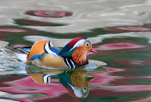 Le mandarin de canard mâle flotte dans le lac