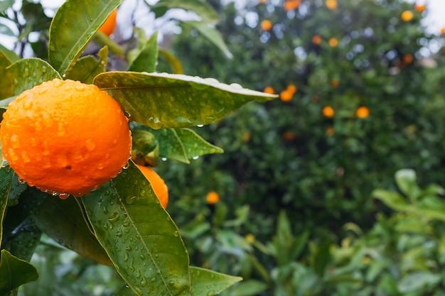 Mandarine mûre juteuse sur une branche dans un jardin verdoyant avec des gouttes d'humidité.