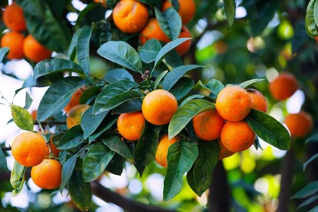 Mandarines sur la branche