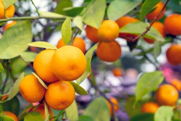 Mandarines orange mûres sur une branche.