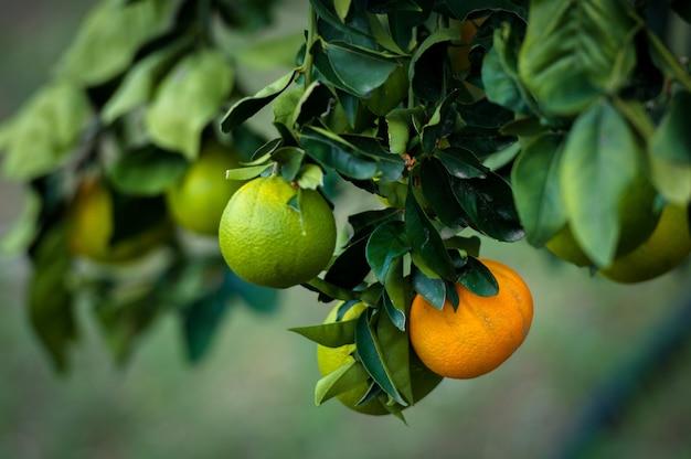 Les mandarines oranges et vertes poussent sur un arbre.