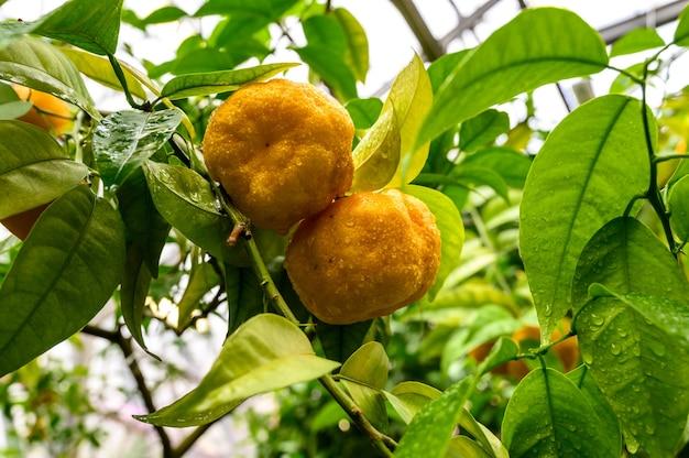 Mandarines parmi le feuillage. mandarine sur un arbre