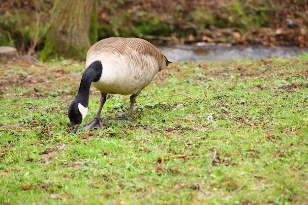 Manger canada goose dans un champ couvert de verdure sous la lumière du soleil avec un arrière-plan flou