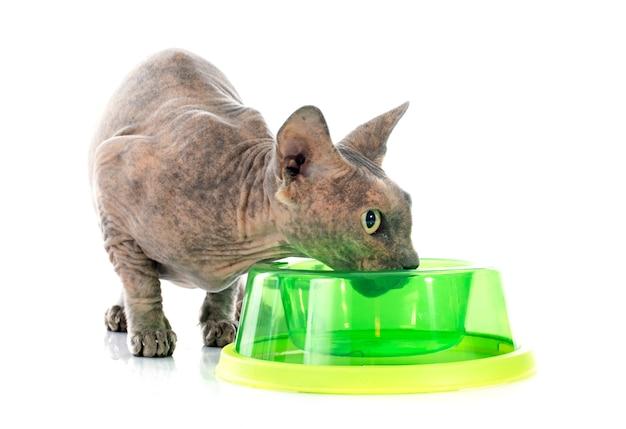 Manger sphynx hairless cat