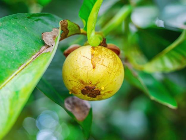 Mangoustan, sur arbre avec feuille verte surface floue, macro