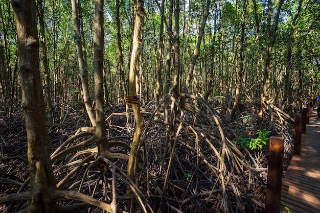La mangrove forestière à chanthaburi en thaïlande.