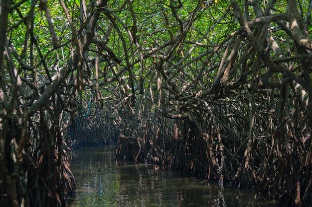 Mangroves sur le fleuve au sri lanka.