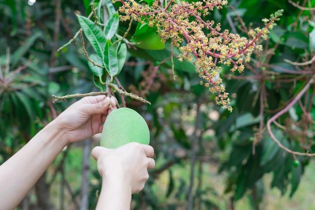 Mangues thaïlandaises fraîches dans le jardin avec fond de ciel bleu