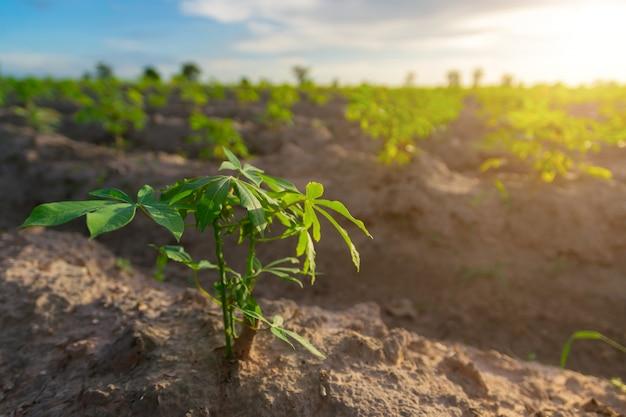 Manioc dans un champ de manioc avec soleil couchant