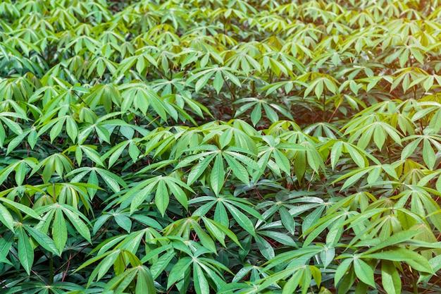 Manioc dans le jardin