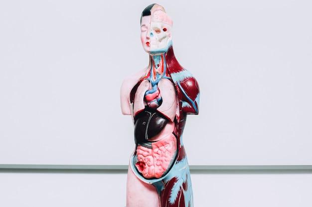 Mannequin d'organes internes humains sur blanc