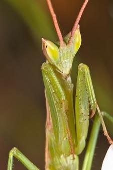 Mante (apteromantis aptera)