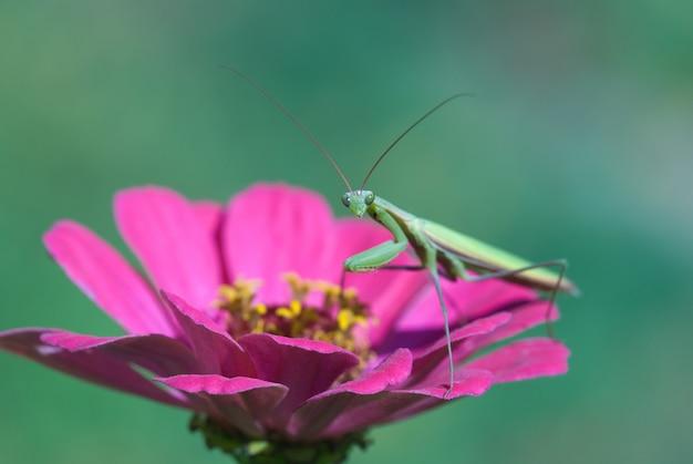 Mante sur fleur rose dans le jardin