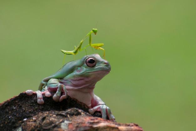 Mante religieuse assise sur une grenouille d'arbre