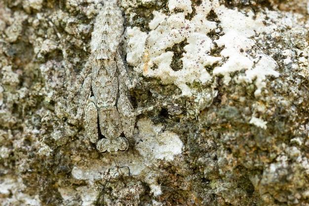 Mante religieuse sur le rocher dans la forêt tropicale. les mantes se déguisent ou se camouflent comme une pierre. gros plan et copie de l'espace.