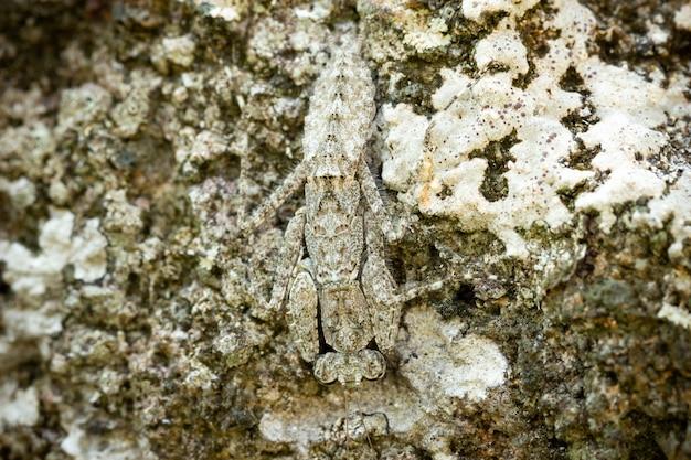Mante religieuse sur le rocher dans la forêt tropicale. les mantes se déguisent ou se camouflent comme une pierre.