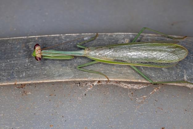 Mantide mâle adulte du genre oxyopsis