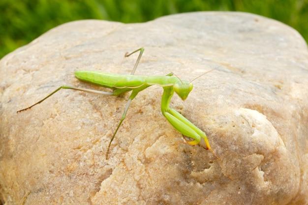 Mantis d'insectes en liberté sur une pierre