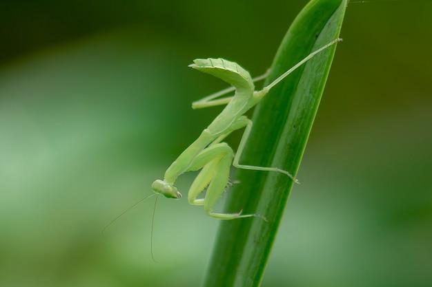 Mantodea est sur une feuille verte