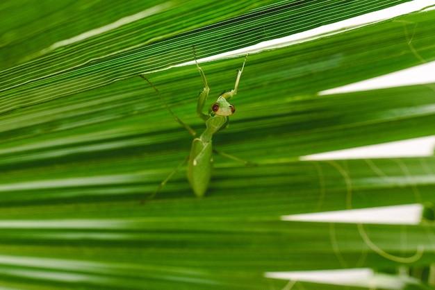Mantodea mante religieuse marchant sur la feuille d'un palmier.